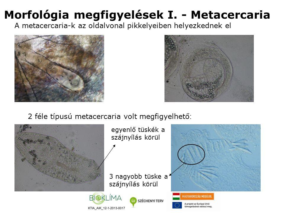 Morfológia megfigyelések I.