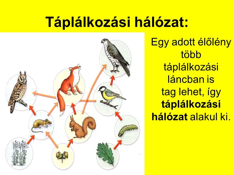 Táplálkozási hálózat: Egy adott élőlény több táplálkozási láncban is tag lehet, így táplálkozási hálózat alakul ki.
