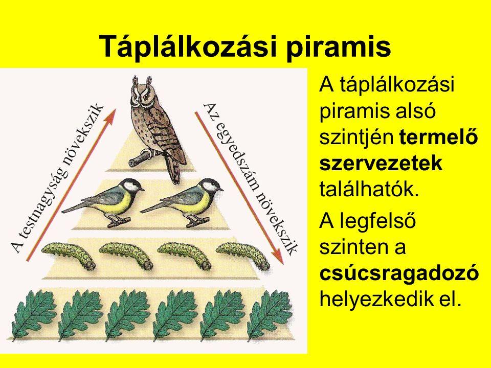 Táplálkozási piramis A táplálkozási piramis alsó szintjén termelő szervezetek találhatók.