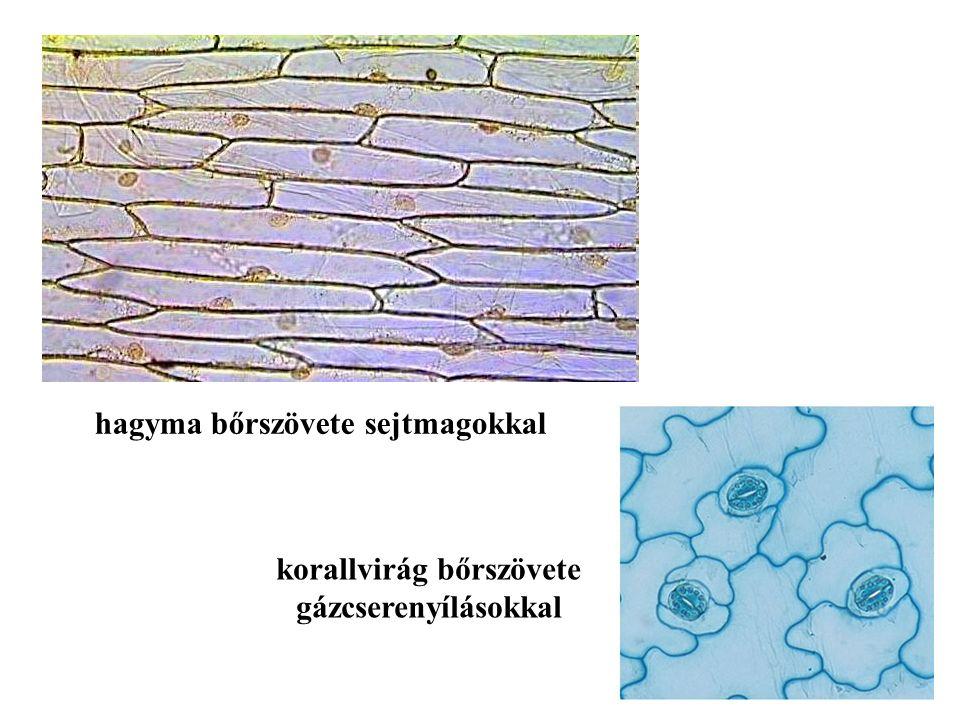 hagyma bőrszövete sejtmagokkal korallvirág bőrszövete gázcserenyílásokkal