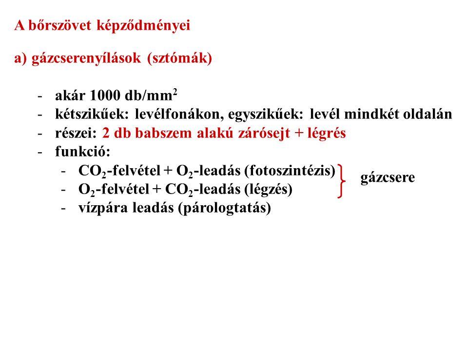 A bőrszövet képződményei a)gázcserenyílások (sztómák) -akár 1000 db/mm 2 -kétszikűek: levélfonákon, egyszikűek: levél mindkét oldalán -részei: 2 db babszem alakú zárósejt + légrés -funkció: -CO 2 -felvétel + O 2 -leadás (fotoszintézis) -O 2 -felvétel + CO 2 -leadás (légzés) -vízpára leadás (párologtatás) gázcsere