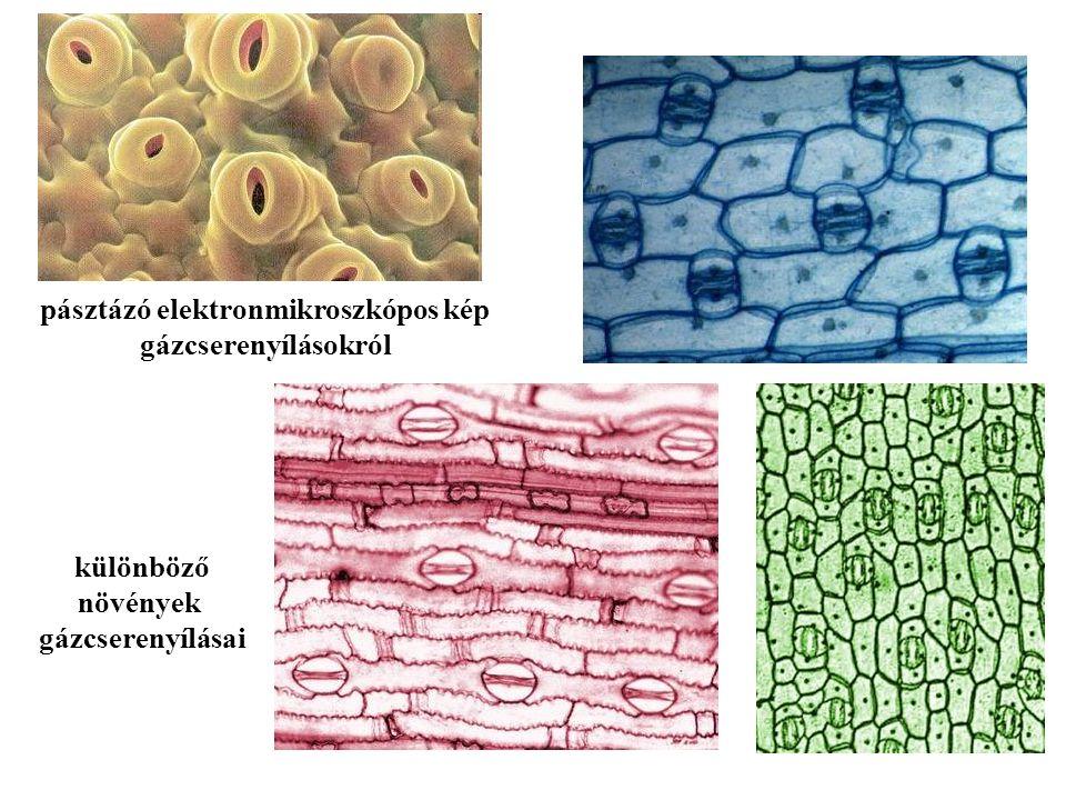 pásztázó elektronmikroszkópos kép gázcserenyílásokról különböző növények gázcserenyílásai