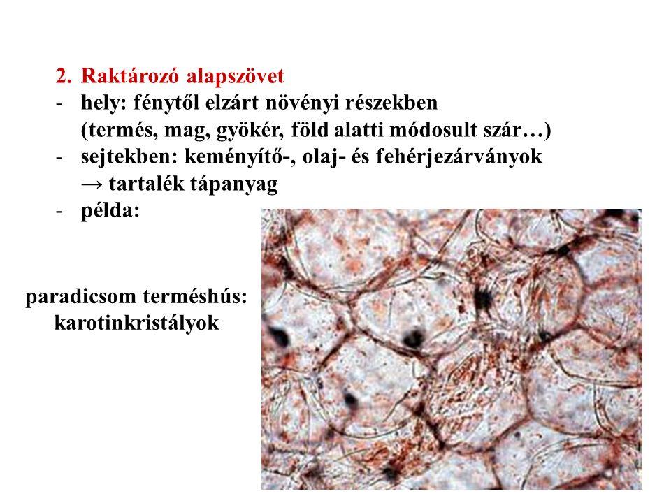 2.Raktározó alapszövet -hely: fénytől elzárt növényi részekben (termés, mag, gyökér, föld alatti módosult szár…) -sejtekben: keményítő-, olaj- és fehérjezárványok → tartalék tápanyag -példa: paradicsom terméshús: karotinkristályok
