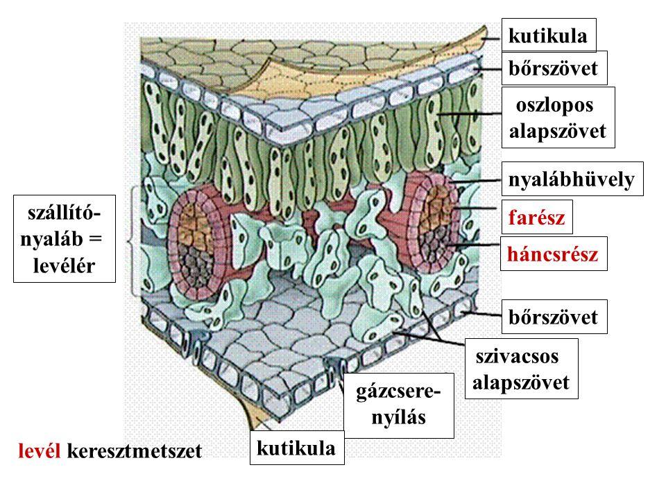 szállító- nyaláb = levélér kutikula bőrszövet oszlopos alapszövet nyalábhüvely farész háncsrész bőrszövet szivacsos alapszövet gázcsere- nyílás kutikula levél keresztmetszet