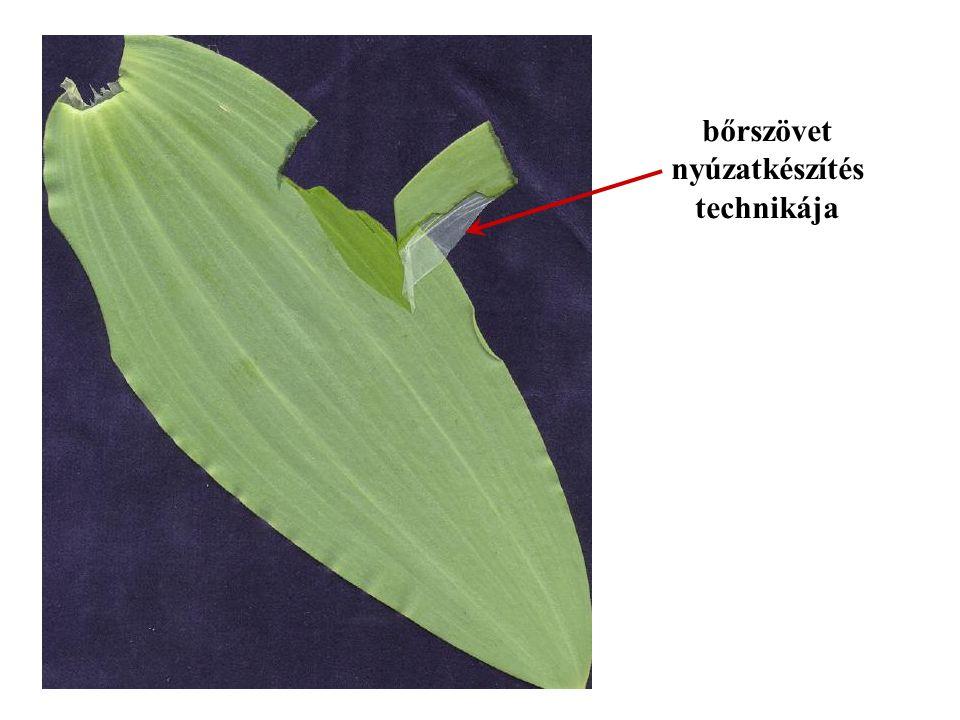 3.Víztartó alapszövet -hely: pozsgás növények – szár, levél -sejtekben: nagy központi vakuólumban nyálka → víz megkötése -példa: medvetalpkaktusz víztartartó sejtek