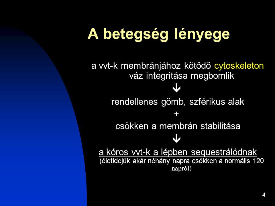 4 A betegség lényege a vvt-k membránjához kötődő cytoskeleton váz integritása megbomlik  rendellenes gömb, szférikus alak + csökken a membrán stabili