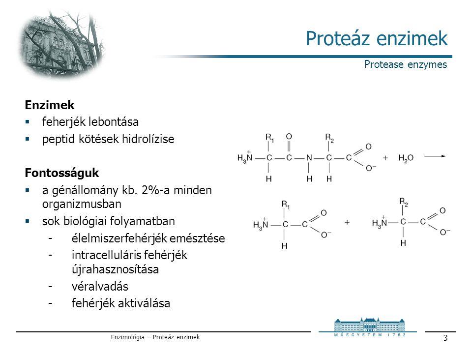 Enzimológia – Proteáz enzimek 4 Csoportosításuk A hasítás helye / By type of reaction catalyzed  Exopeptidázok / exopeptidases  Endopeptidázok / endopeptidases Az aktív helyen levő aminosav szerint / Catalytic site (Standard classification)  Szerin proteázok / Serine proteases  Aszpartát proteázok / Aspartate proteases  Cisztein proteázok / Cysteine proteases  Metalloproteázok / Metalloproteases  Treonin proteázok / Threonine proteases (1995-)  Glutaminsav proteázok / Glutamic acid proteases (2004-) Termelő szervezetek szerint / Occurance  gomba eredetű / fungal  bakteriális eredetű / bacterial Optimális pH tartomány / By optimal pH  savas / acid  semleges / neutral  lúgos / basic Classification