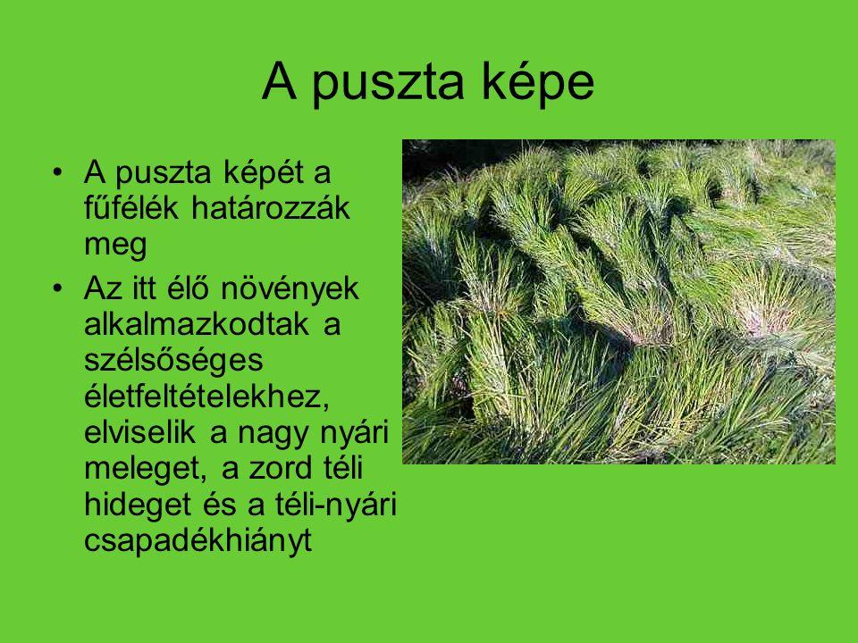 A puszta képe A puszta képét a fűfélék határozzák meg Az itt élő növények alkalmazkodtak a szélsőséges életfeltételekhez, elviselik a nagy nyári meleg