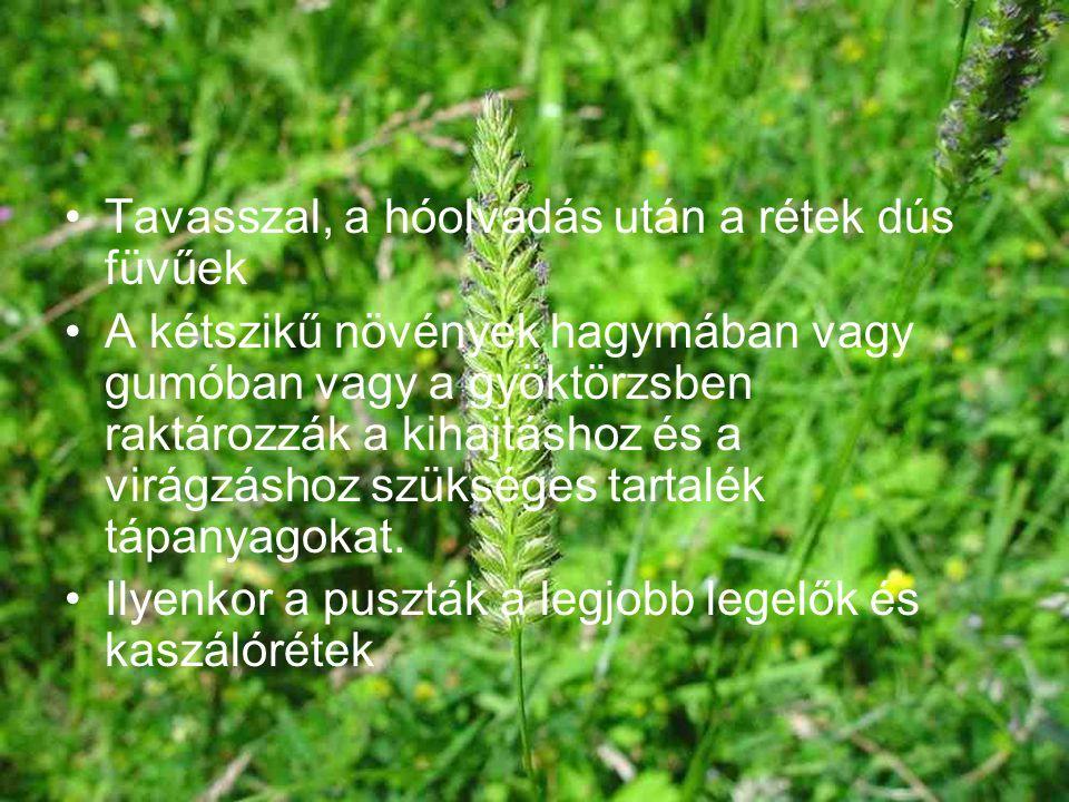 Tavasszal, a hóolvadás után a rétek dús füvűek A kétszikű növények hagymában vagy gumóban vagy a gyöktörzsben raktározzák a kihajtáshoz és a virágzásh