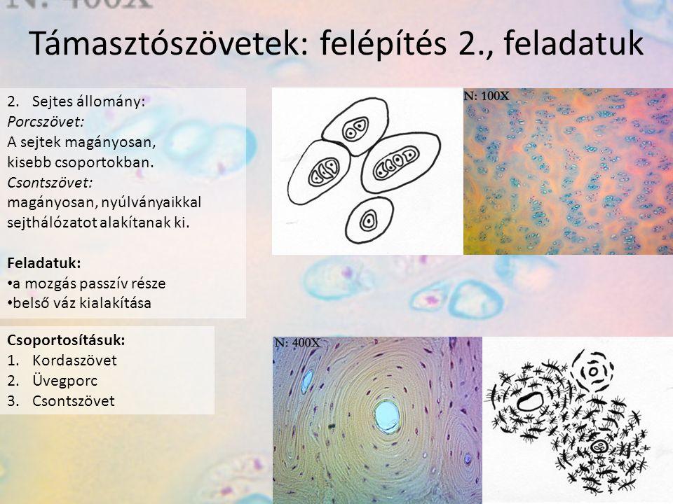 Támasztószövetek: felépítés 2., feladatuk 2.Sejtes állomány: Porcszövet: A sejtek magányosan, kisebb csoportokban.