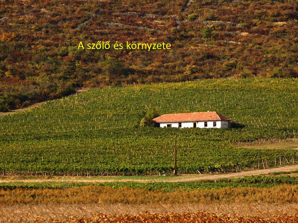 A szőlő és környzete