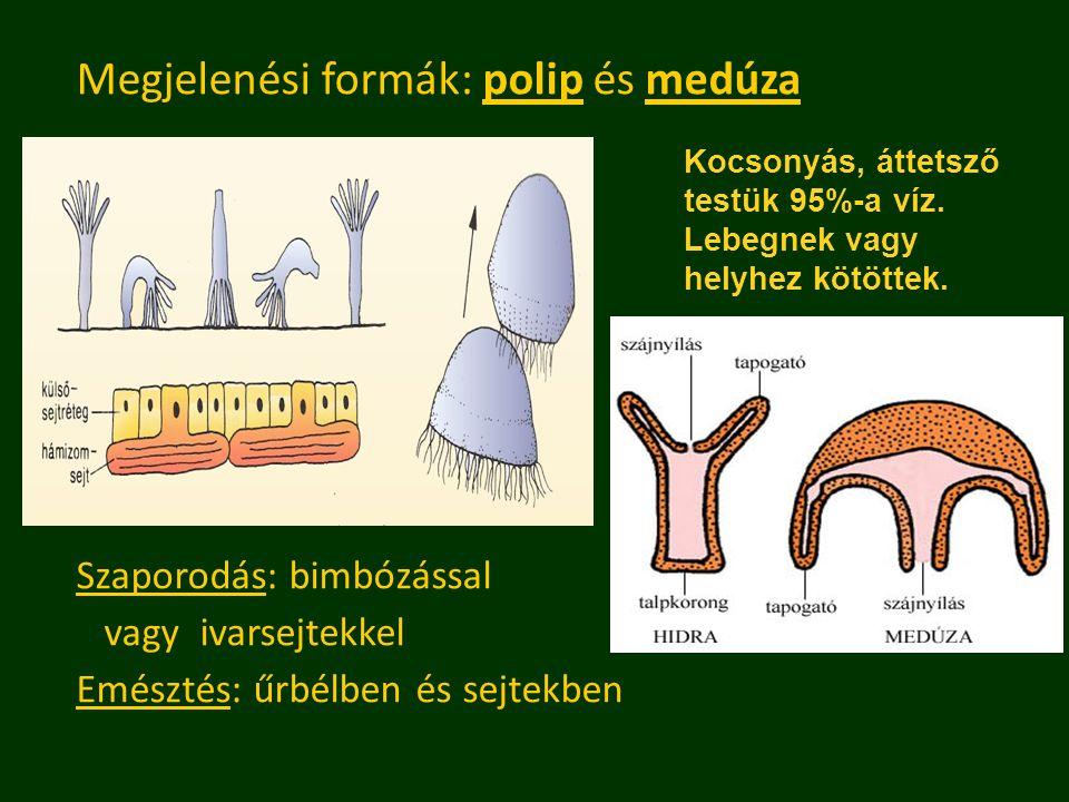 Megjelenési formák: polip és medúza Szaporodás: bimbózással vagy ivarsejtekkel Emésztés: űrbélben és sejtekben Kocsonyás, áttetsző testük 95%-a víz. L