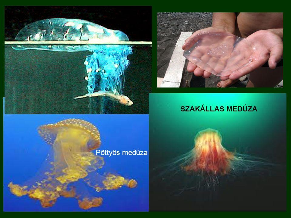 SZAKÁLLAS MEDÚZA Pöttyös medúza