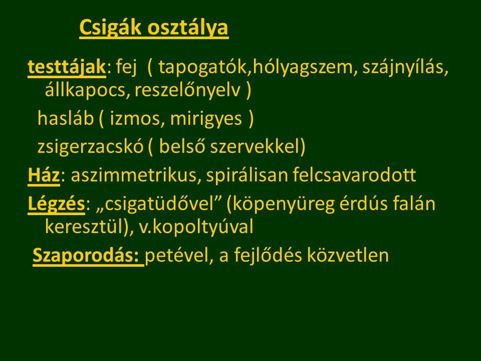 testtájak: fej ( tapogatók,hólyagszem, szájnyílás, állkapocs, reszelőnyelv ) hasláb ( izmos, mirigyes ) zsigerzacskó ( belső szervekkel) Ház: aszimmet