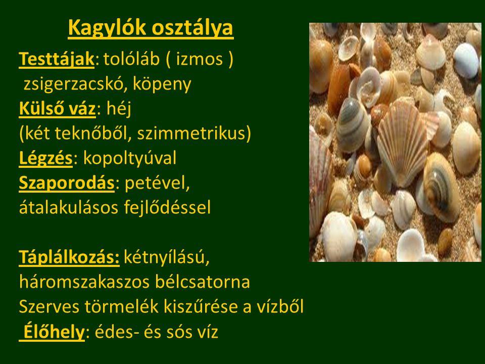 Kagylók osztálya Testtájak: tolóláb ( izmos ) zsigerzacskó, köpeny Külső váz: héj (két teknőből, szimmetrikus) Légzés: kopoltyúval Szaporodás: petével