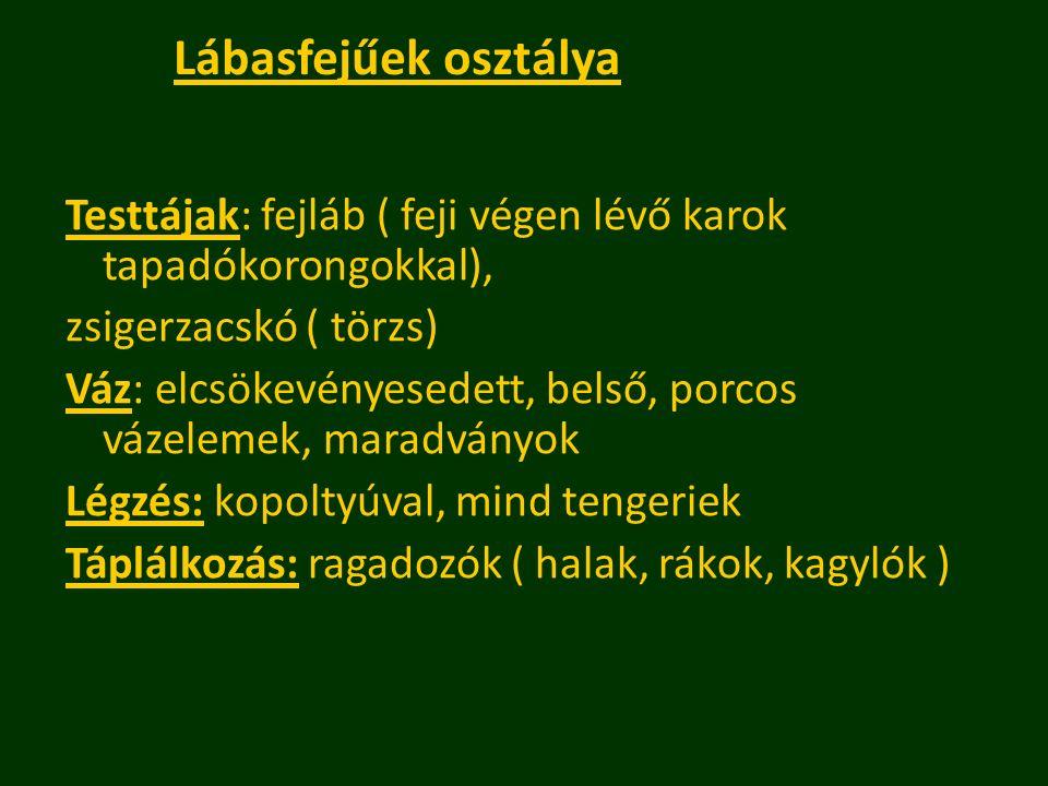 Lábasfejűek osztálya Testtájak: fejláb ( feji végen lévő karok tapadókorongokkal), zsigerzacskó ( törzs) Váz: elcsökevényesedett, belső, porcos vázele