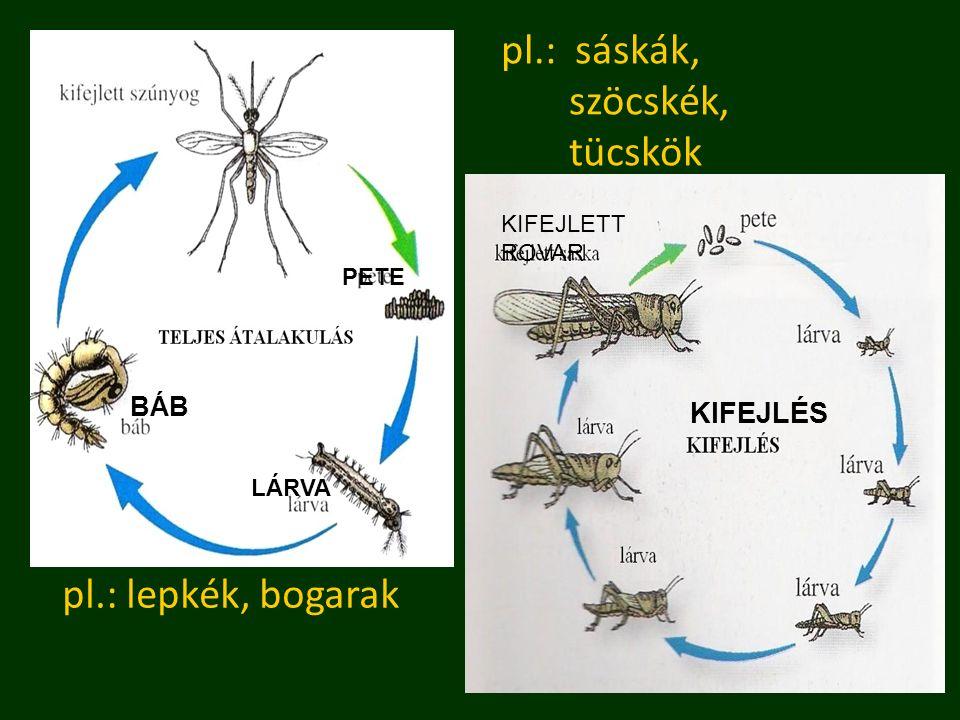 pl.: lepkék, bogarak pl.: sáskák, szöcskék, tücskök BÁB LÁRVA PETE KIFEJLÉS KIFEJLETT ROVAR