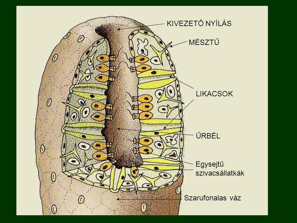 KIVEZETŐ NYÍLÁS MÉSZTŰ LIKACSOK ŰRBÉL Egysejtű szivacsállatkák Szarufonalas váz