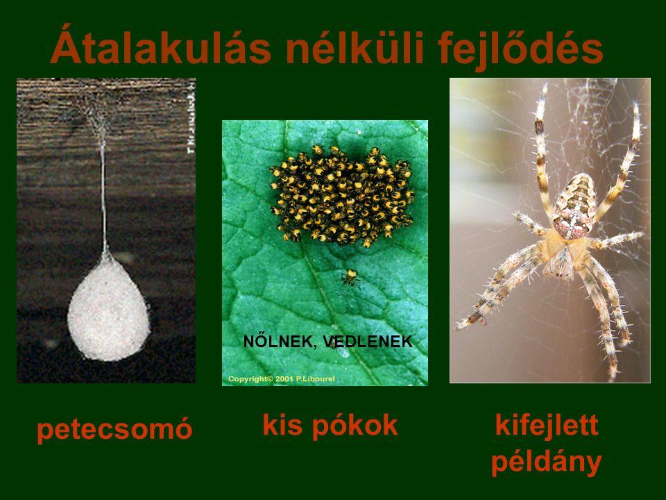 petecsomó kis pókokkifejlett példány Átalakulás nélküli fejlődés NŐLNEK, VEDLENEK