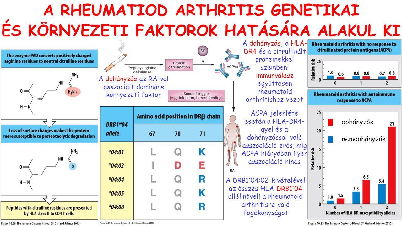 dohányzók nemdohányzók A dohányzás, a HLA- DR4 és a citrullinált proteinekkel szembeni immunválasz együttesen rheumatoid arthritishez vezet A DRB1 * 04:02 kivételével az összes HLA DRB1 * 04 allél növeli a rheumatoid arthritisre való fogékonyságot A RHEUMATIOD ARTHRITIS GENETIKAI ÉS KÖRNYEZETI FAKTOROK HATÁSÁRA ALAKUL KI A dohányzás az RA-val asszociált domináns környezeti faktor ACPA jelenléte esetén a HLA-DR4- gyel és a dohányzással való asszociáció erős, míg ACPA hiányában ilyen asszociáció nincs