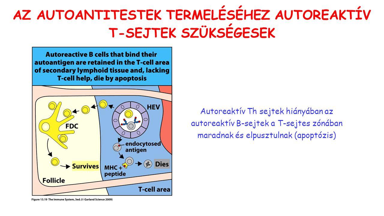 AZ AUTOANTITESTEK TERMELÉSÉHEZ AUTOREAKTÍV T-SEJTEK SZÜKSÉGESEK Autoreaktív Th sejtek hiányában az autoreaktív B-sejtek a T-sejtes zónában maradnak és elpusztulnak (apoptózis)