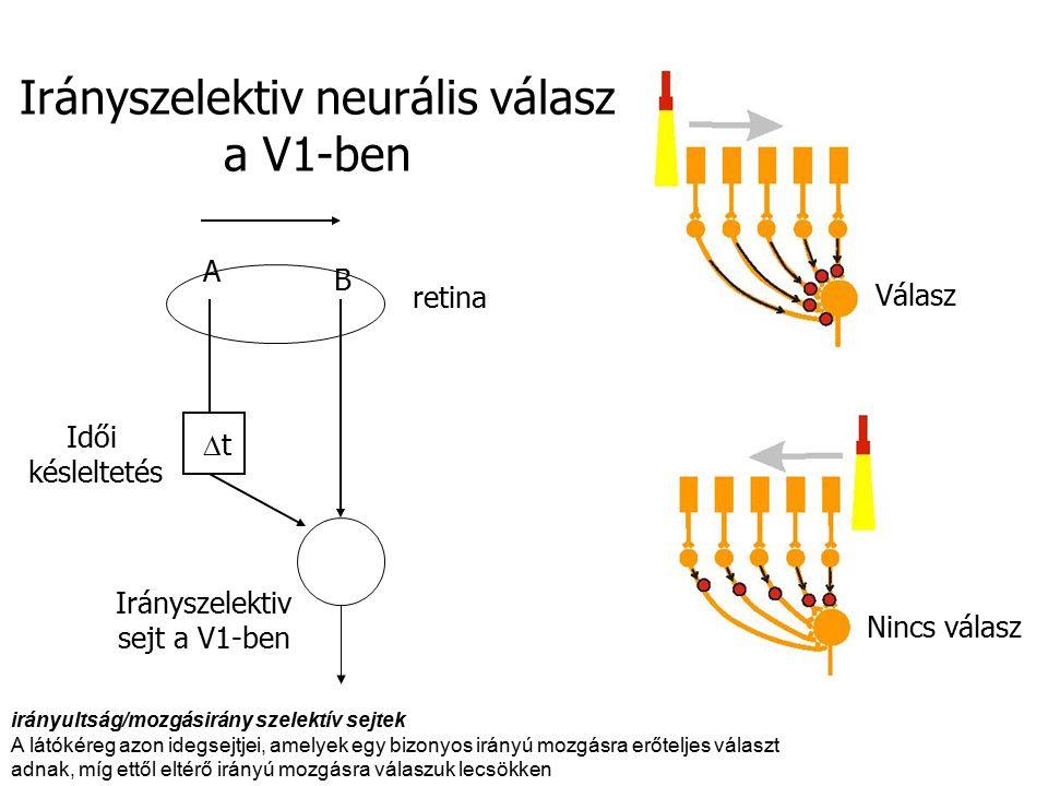 Irányszelektiv sejt a V1-ben retina tt B A Válasz Nincs válasz Irányszelektiv neurális válasz a V1-ben Idői késleltetés irányultság/mozgásirány szelektív sejtek A látókéreg azon idegsejtjei, amelyek egy bizonyos irányú mozgásra erőteljes választ adnak, míg ettől eltérő irányú mozgásra válaszuk lecsökken