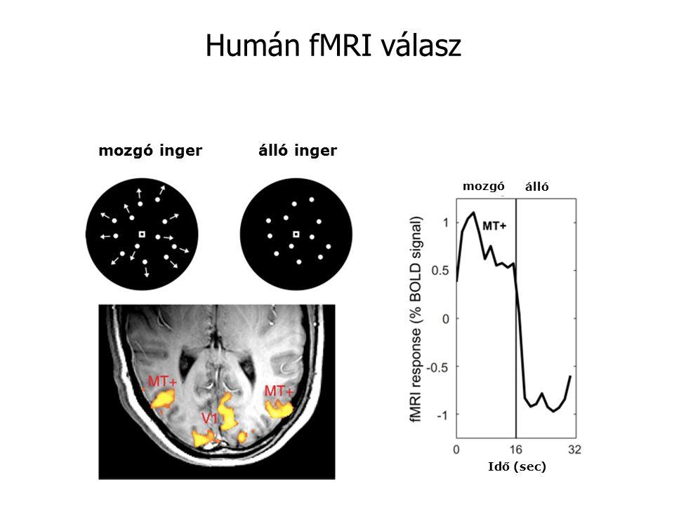 mozgó ingerálló inger álló mozgó Idő (sec) Humán fMRI válasz