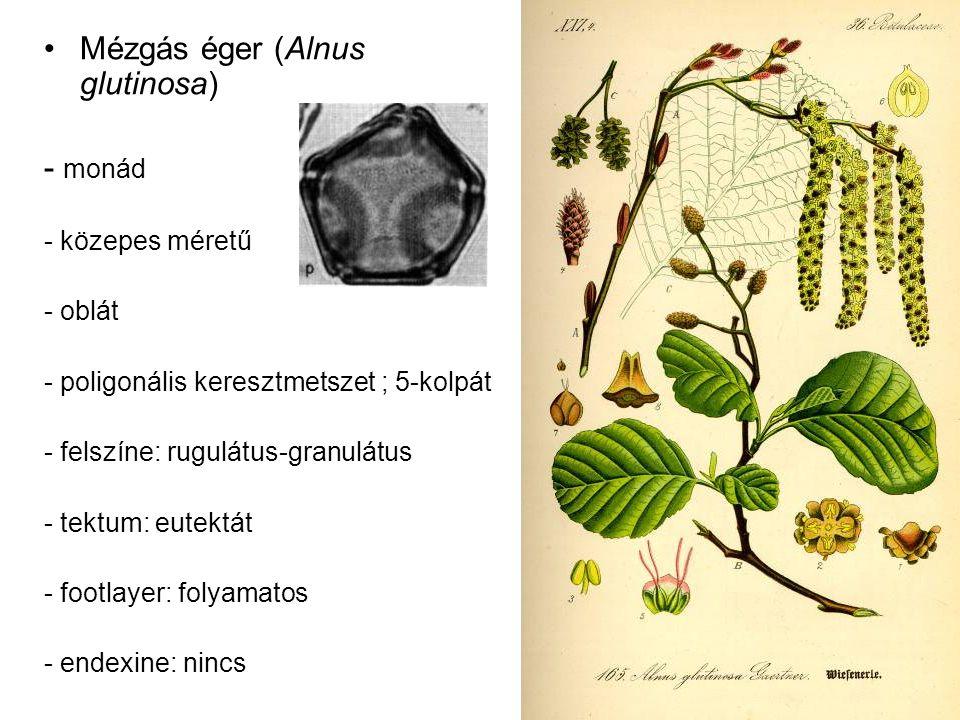 Mézgás éger (Alnus glutinosa) - monád - közepes méretű - oblát - poligonális keresztmetszet ; 5-kolpát - felszíne: rugulátus-granulátus - tektum: eute
