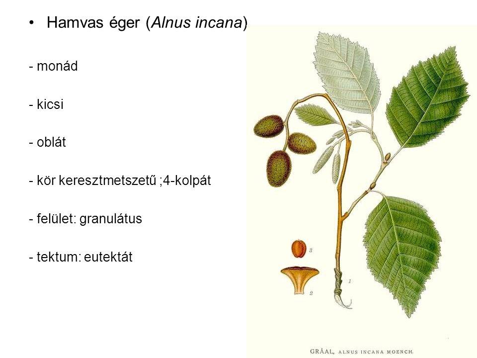 Hamvas éger (Alnus incana) - monád - kicsi - oblát - kör keresztmetszetű ;4-kolpát - felület: granulátus - tektum: eutektát