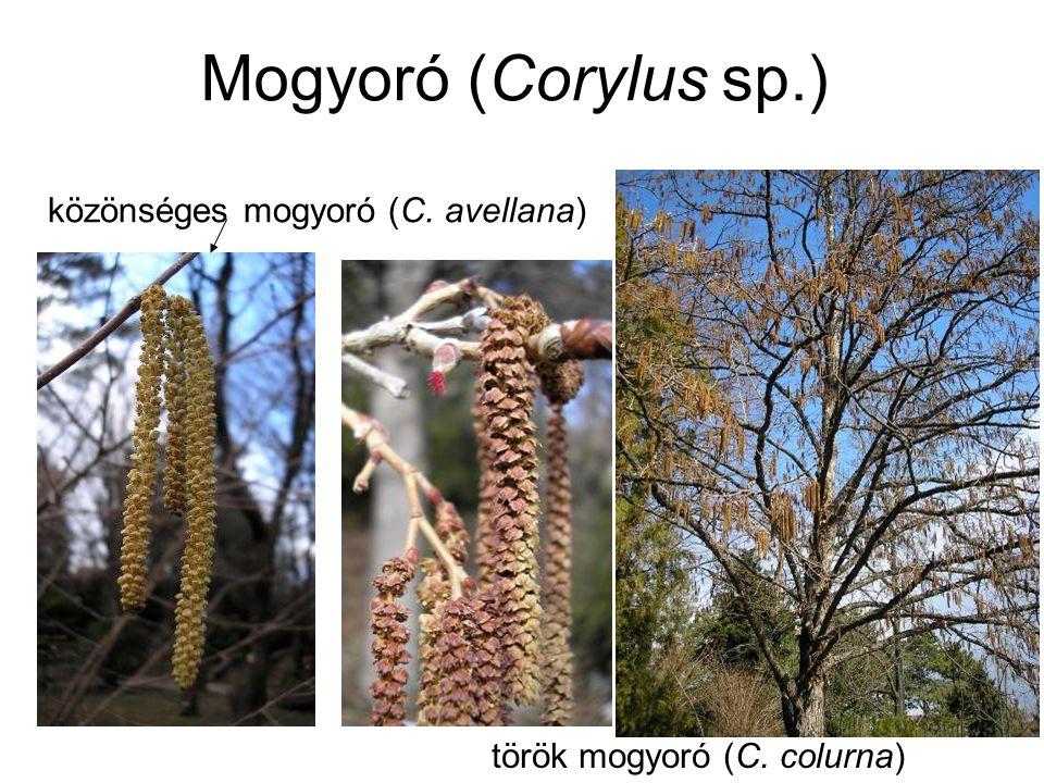 Mogyoró (Corylus sp.) Virágzás ideje: január-február Virágpor mennyisége: 4millió pollen/barka Allergenitás: –erős –keresztreakció lehetséges: gyertyán, komlógyertyán, nyír, éger
