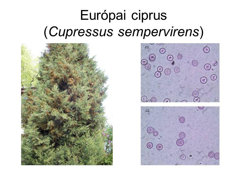 Európai ciprus (Cupressus sempervirens)
