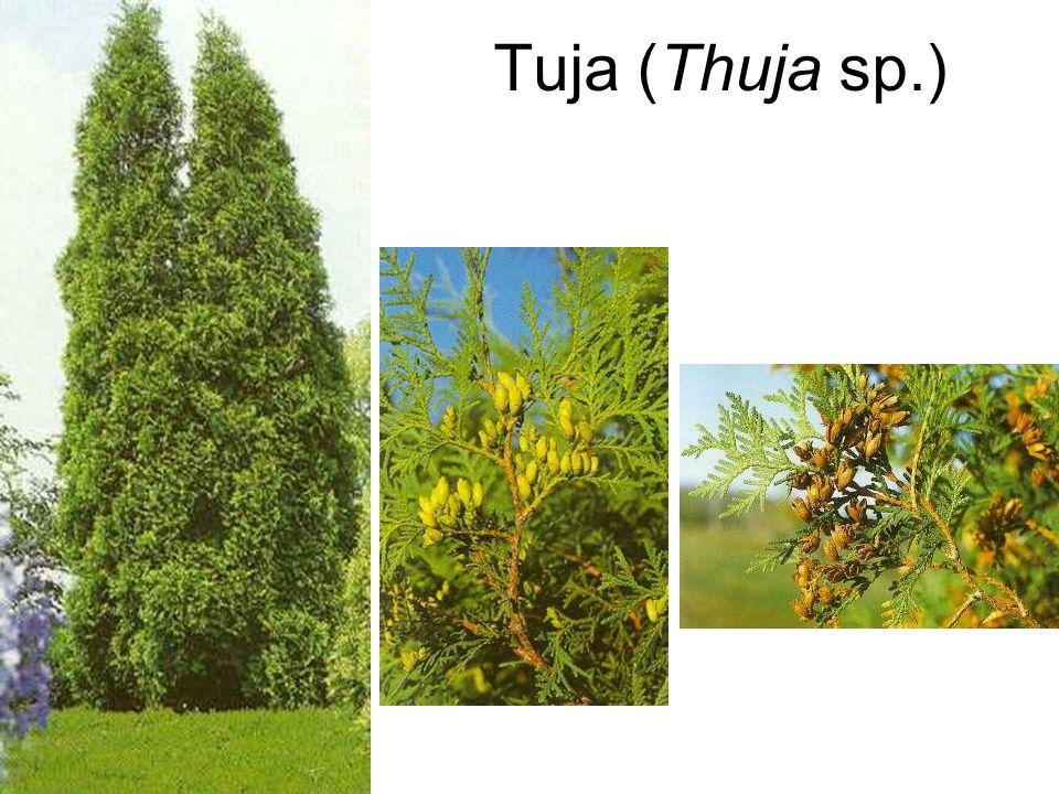 Tuja (Thuja sp.)
