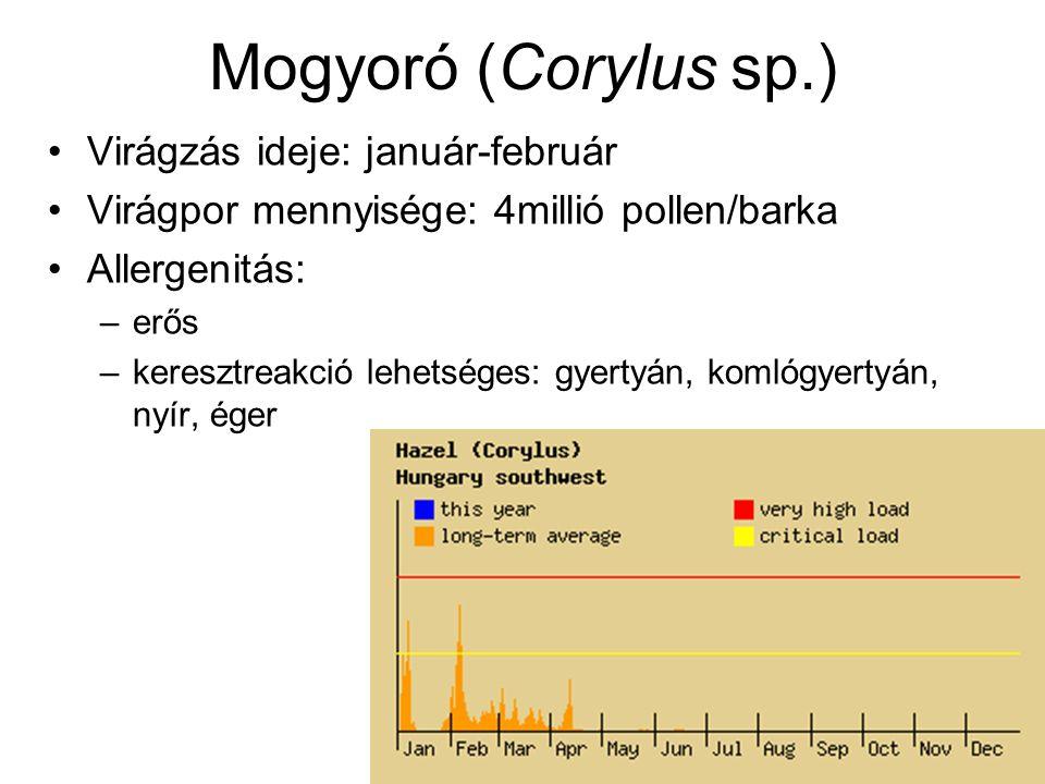 Mogyoró (Corylus sp.) Virágzás ideje: január-február Virágpor mennyisége: 4millió pollen/barka Allergenitás: –erős –keresztreakció lehetséges: gyertyá