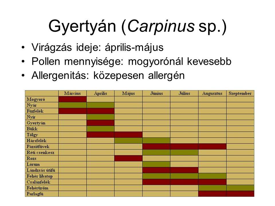 Gyertyán (Carpinus sp.) Virágzás ideje: április-május Pollen mennyisége: mogyorónál kevesebb Allergenitás: közepesen allergén
