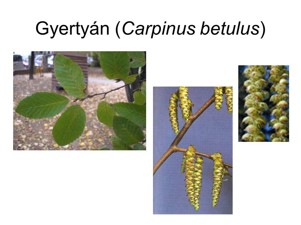 Gyertyán (Carpinus betulus)