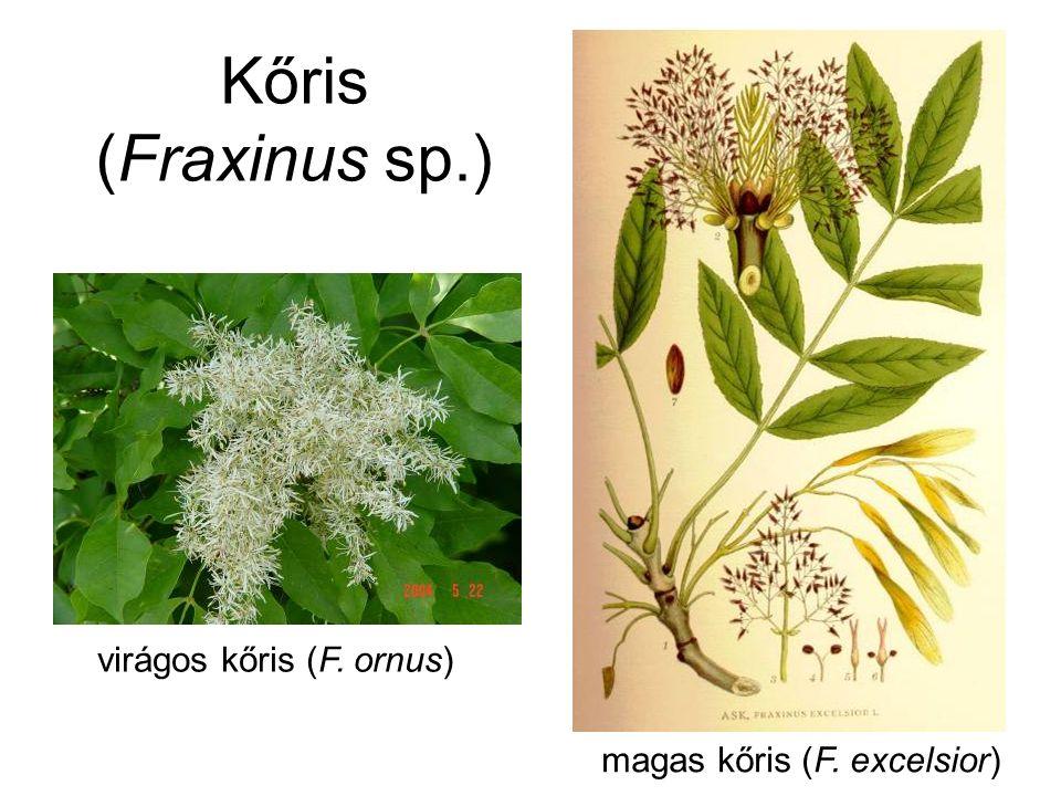 Kőris (Fraxinus sp.) virágos kőris (F. ornus) magas kőris (F. excelsior)