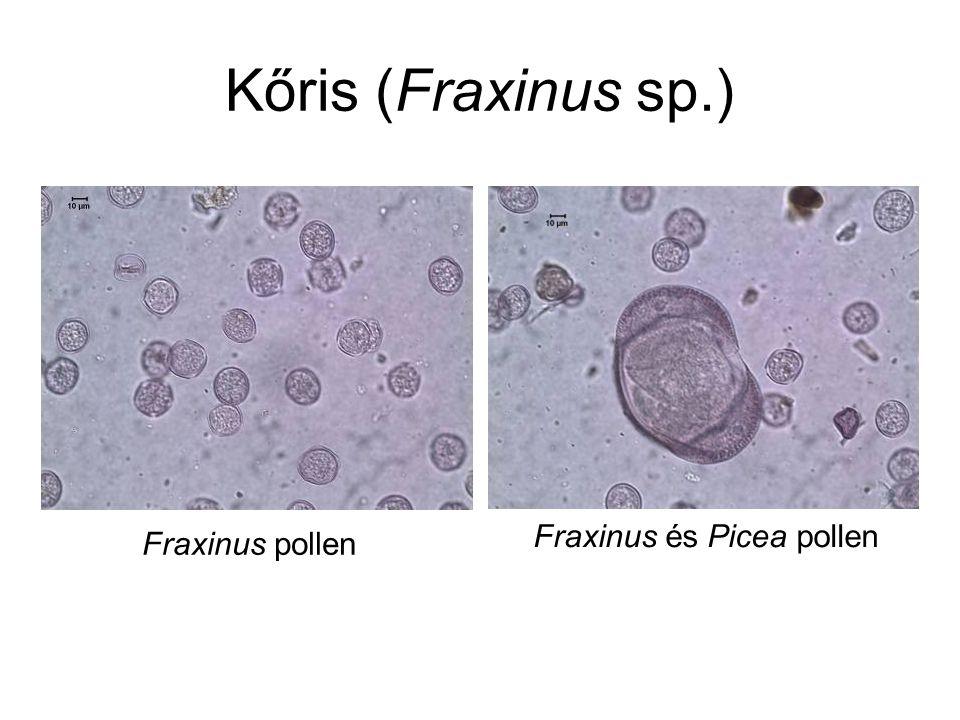 Kőris (Fraxinus sp.) Fraxinus pollen Fraxinus és Picea pollen