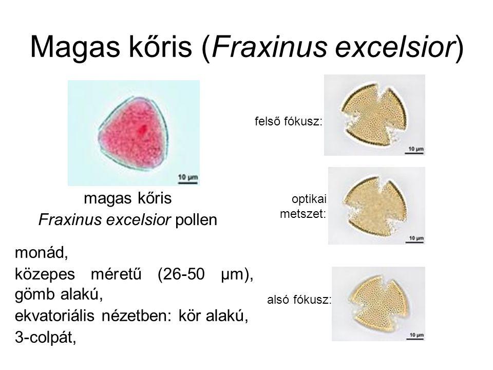 Magas kőris (Fraxinus excelsior) magas kőris Fraxinus excelsior pollen monád, közepes méretű (26-50 µm), gömb alakú, ekvatoriális nézetben: kör alakú,