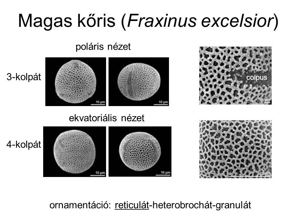 Magas kőris (Fraxinus excelsior) ornamentáció: reticulát-heterobrochát-granulát ekvatoriális nézet poláris nézet 3-kolpát 4-kolpát colpus