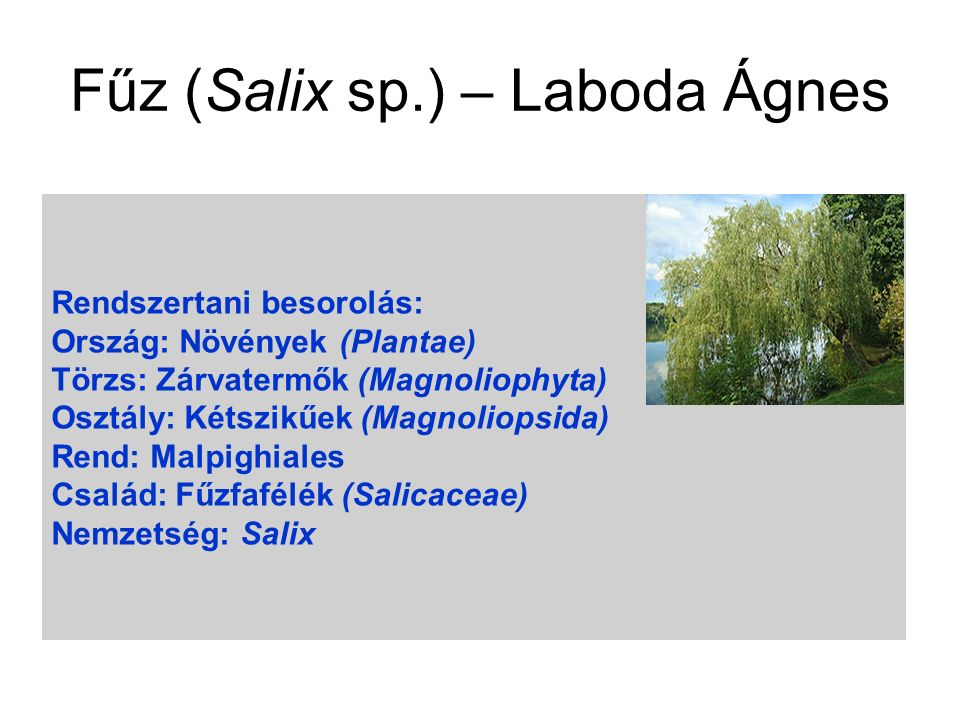 Fűz (Salix sp.) – Laboda Ágnes Rendszertani besorolás: Ország: Növények (Plantae) Törzs: Zárvatermők (Magnoliophyta) Osztály: Kétszikűek (Magnoliopsid