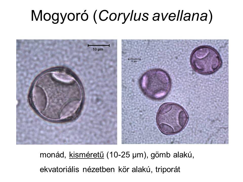 Mogyoró (Corylus avellana) monád, kisméretű (10-25 μm), gömb alakú, ekvatoriális nézetben kör alakú, triporát
