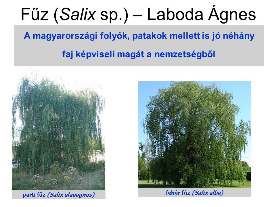 A magyarországi folyók, patakok mellett is jó néhány faj képviseli magát a nemzetségből parti fűz (Salix elaeagnos) fehér fûz (Salix alba) Fűz (Salix