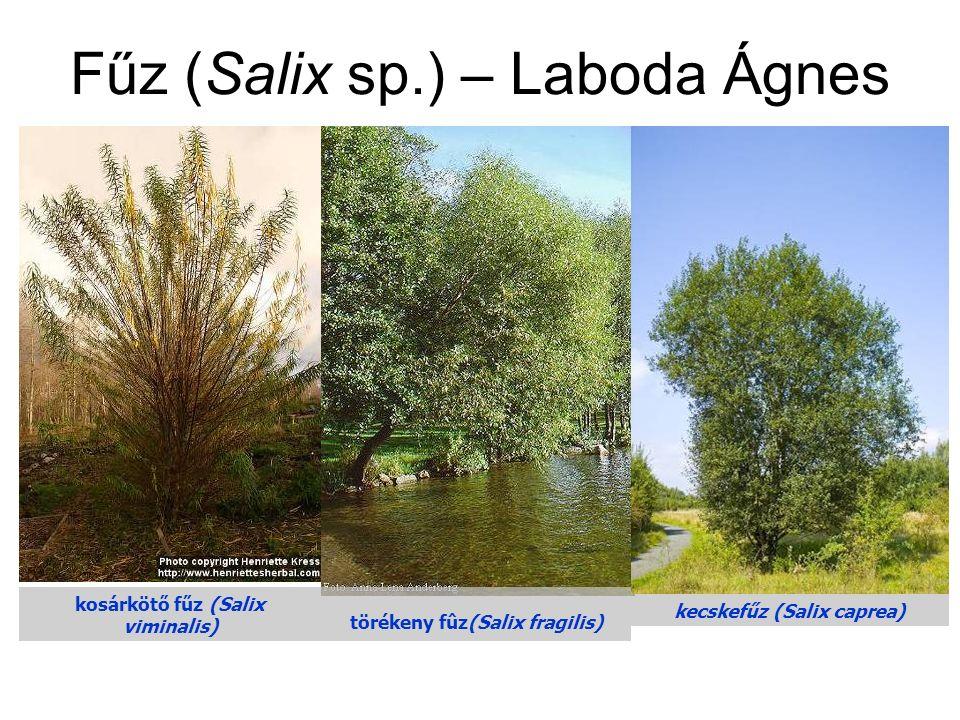kosárkötő fűz (Salix viminalis) törékeny fûz(Salix fragilis) kecskefűz (Salix caprea) Fűz (Salix sp.) – Laboda Ágnes