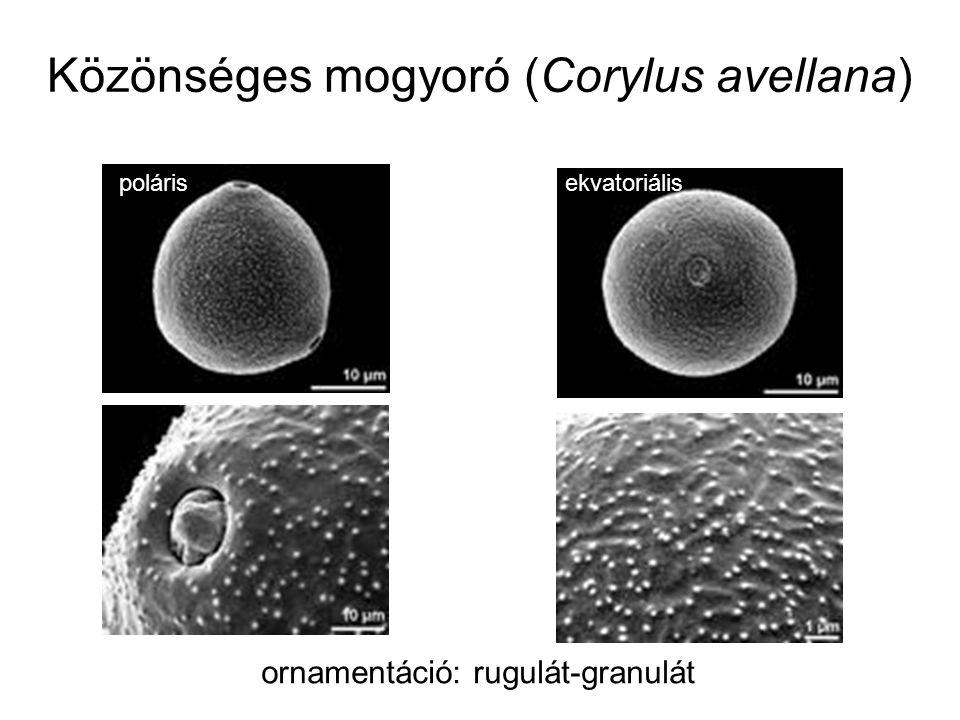 Török mogyoró (Corylus colurna) monád, közepes méretű (26-50 μm), gömb alakú, ekvatoriális nézetben kör alakú, triporát