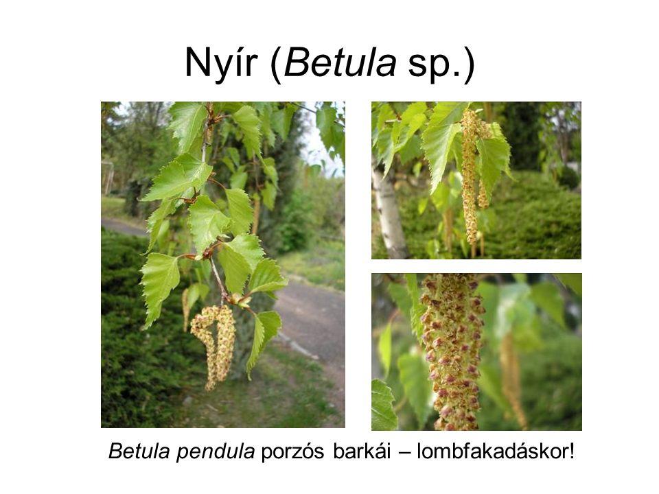 Nyír (Betula sp.) Betula pendula porzós barkái – lombfakadáskor!