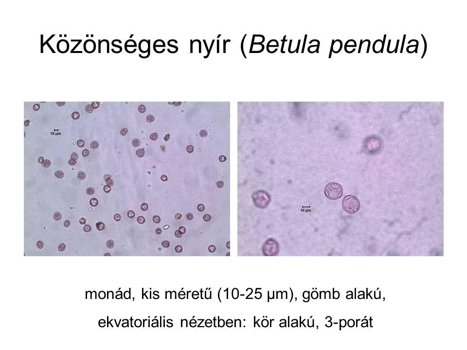 Közönséges nyír (Betula pendula) monád, kis méretű (10-25 µm), gömb alakú, ekvatoriális nézetben: kör alakú, 3-porát