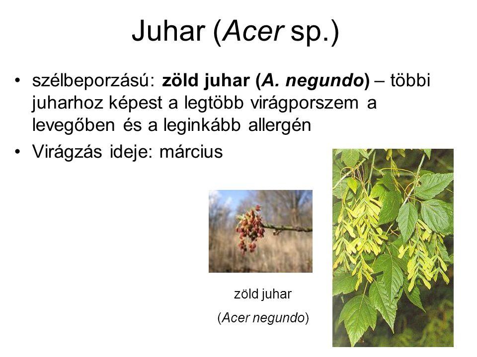 Juhar (Acer sp.) szélbeporzású: zöld juhar (A. negundo) – többi juharhoz képest a legtöbb virágporszem a levegőben és a leginkább allergén Virágzás id