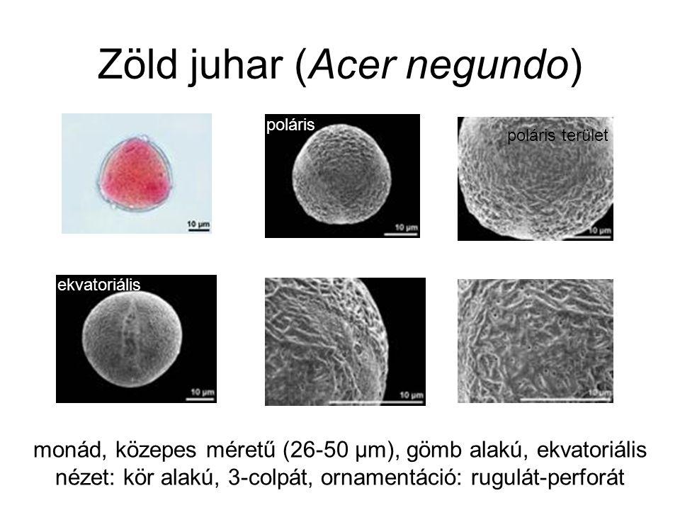 Zöld juhar (Acer negundo) monád, közepes méretű (26-50 µm), gömb alakú, ekvatoriális nézet: kör alakú, 3-colpát, ornamentáció: rugulát-perforát ekvato