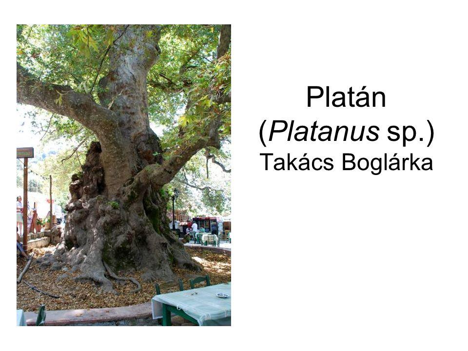 Platán (Platanus sp.) Takács Boglárka