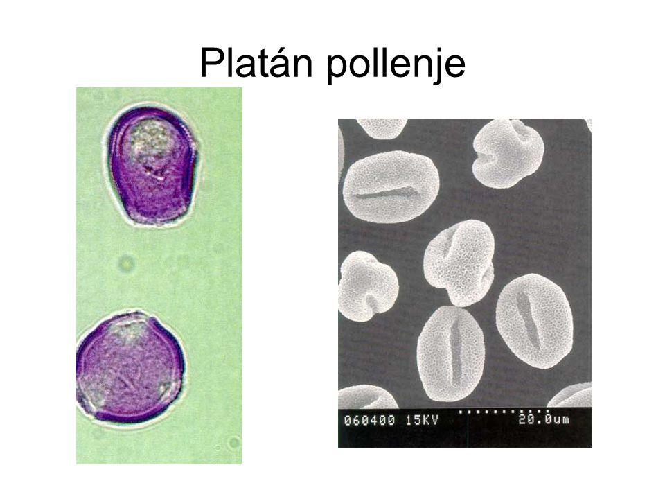 Platán pollenje